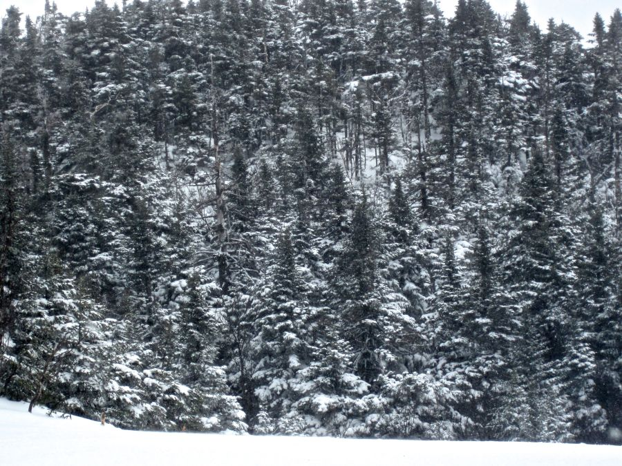 stowe trees snow