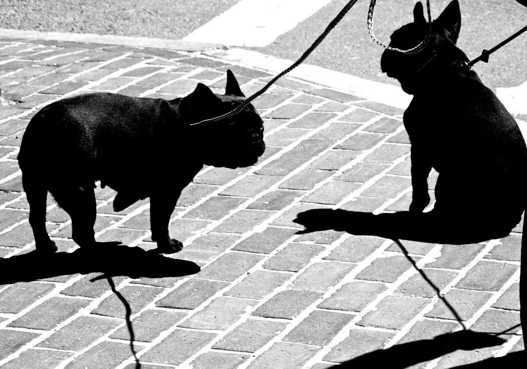 boston common garden french bulldogs