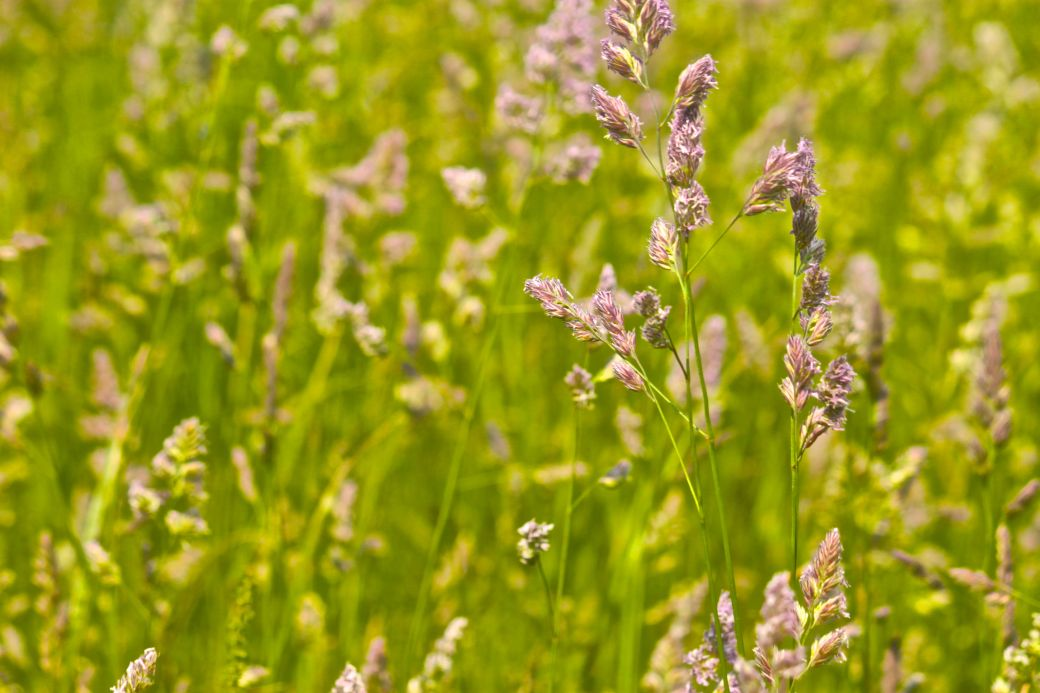 boston harbor spectacle island fields purple flowers