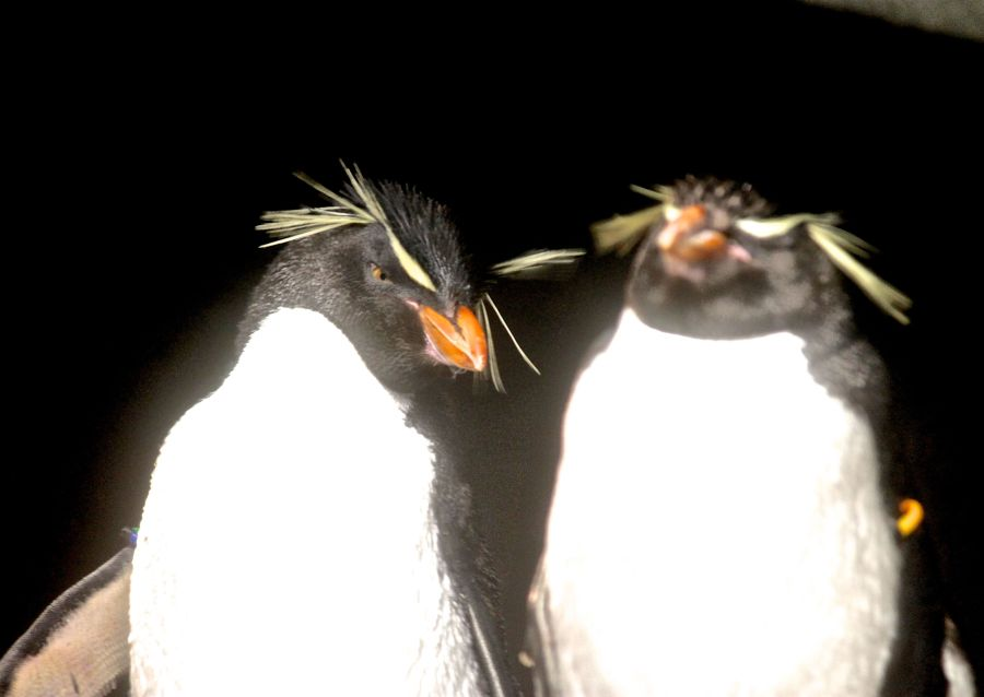 boston new england aquarium rock hopper penguin 2