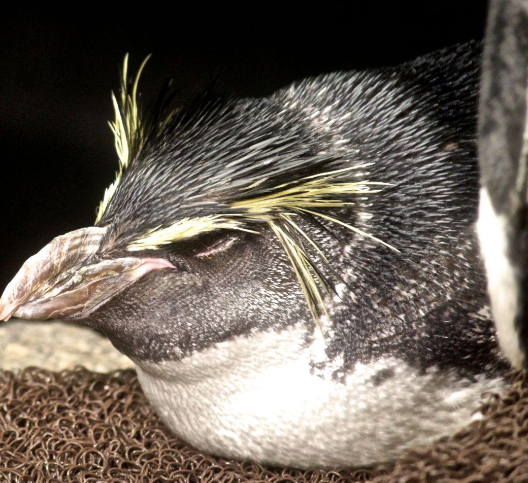 boston new england aquarium rock hopper penguin 3
