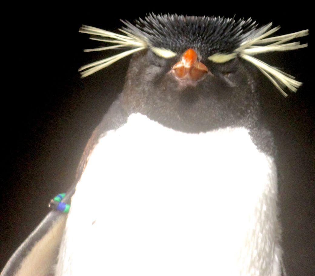boston new england aquarium rock hopper penguin close up