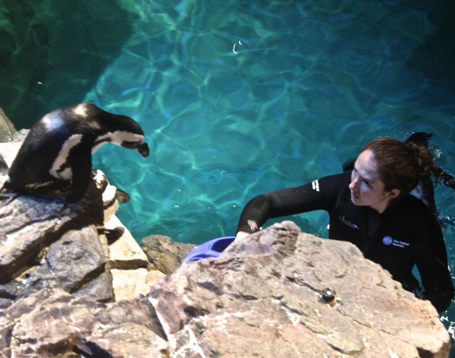 boston new england aquarium woman feeding penguins penguin looking at woman