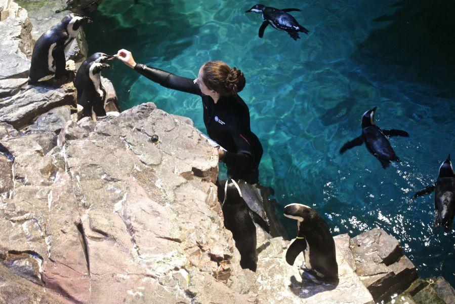 boston new england aquarium woman feeding penguins