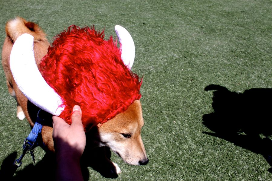 amesbury warrior dash may 31 shiba inu horn hat