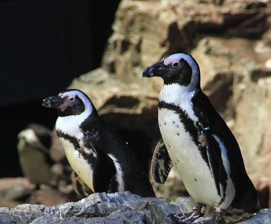 boston new england aquarium penguins 7