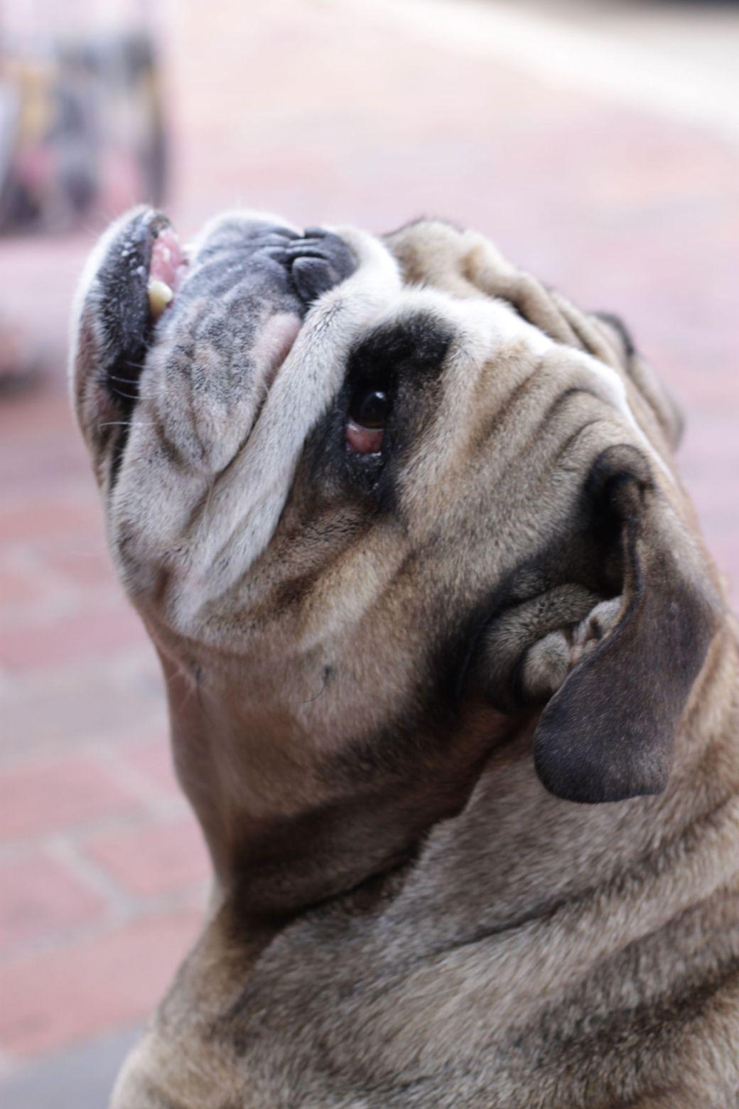boston charlestown bulldog 2