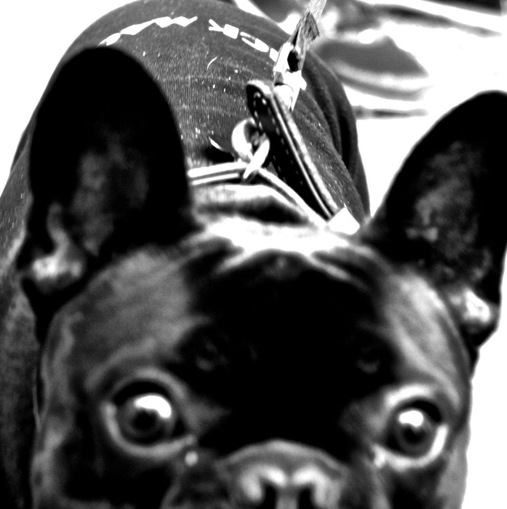 boston hemp fest 2014 park street people french bulldog