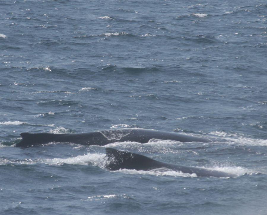 boston whale watch whales 1