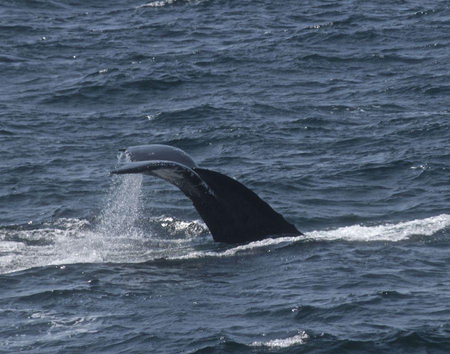 boston whale watch whales 11