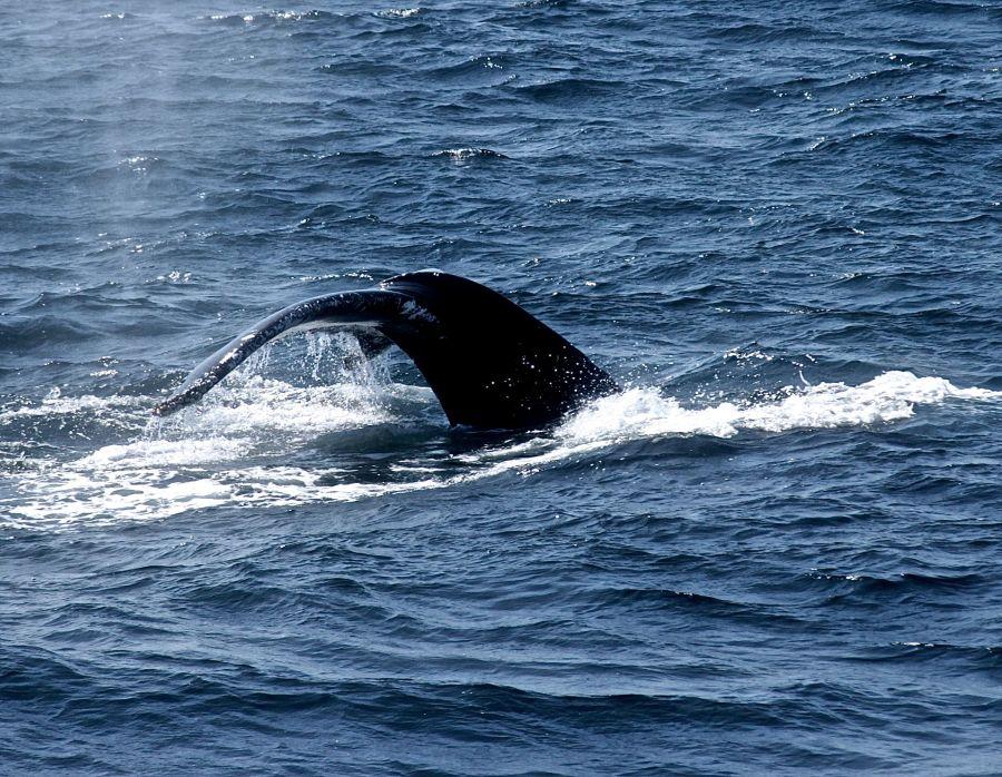 boston whale watch whales 9