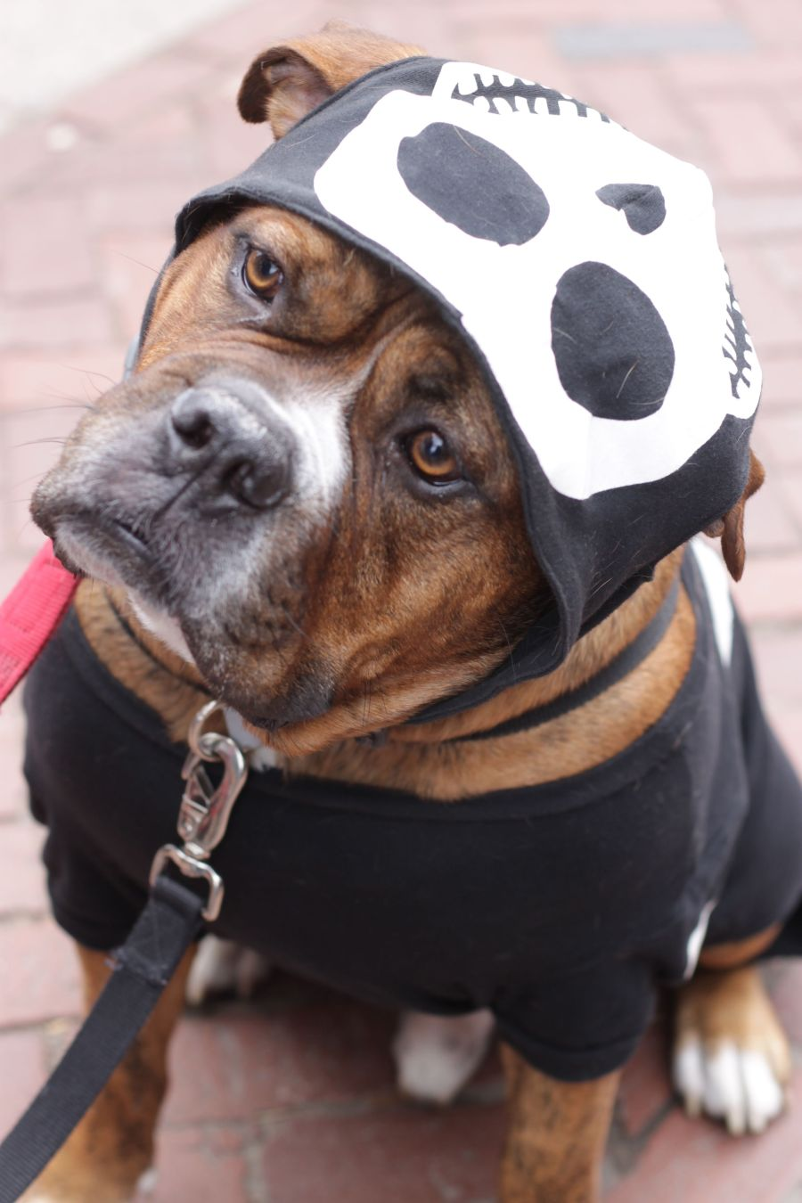 salem halloween october 31 2014 bulldog skeleton outfit