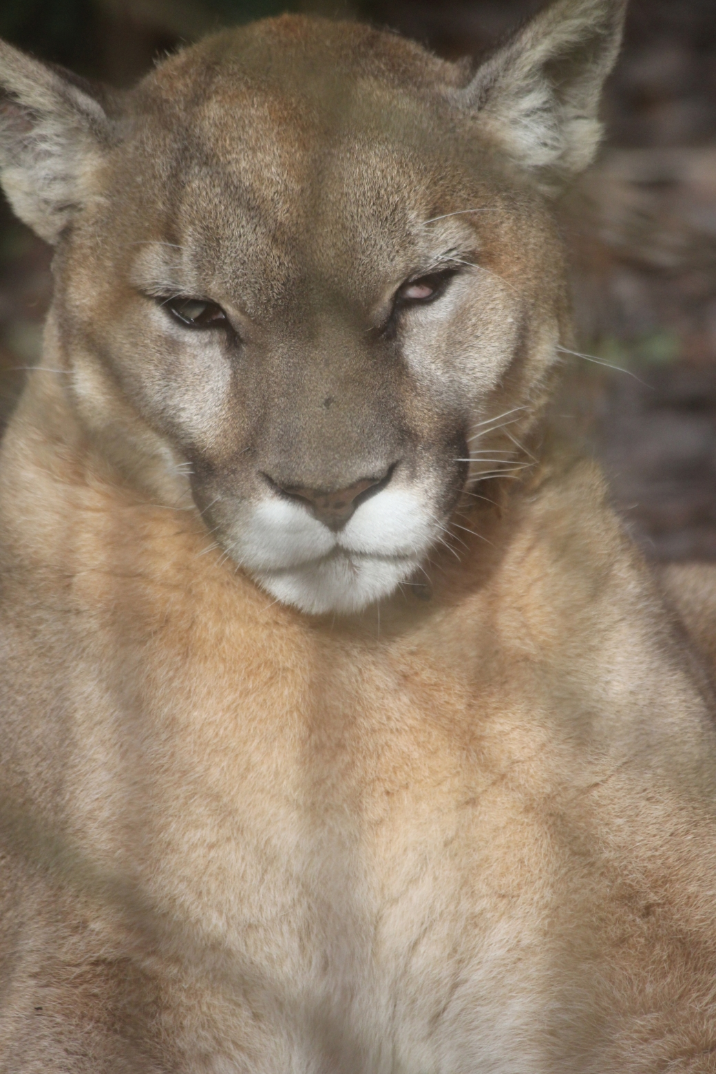 tampa big cat rescue cougar