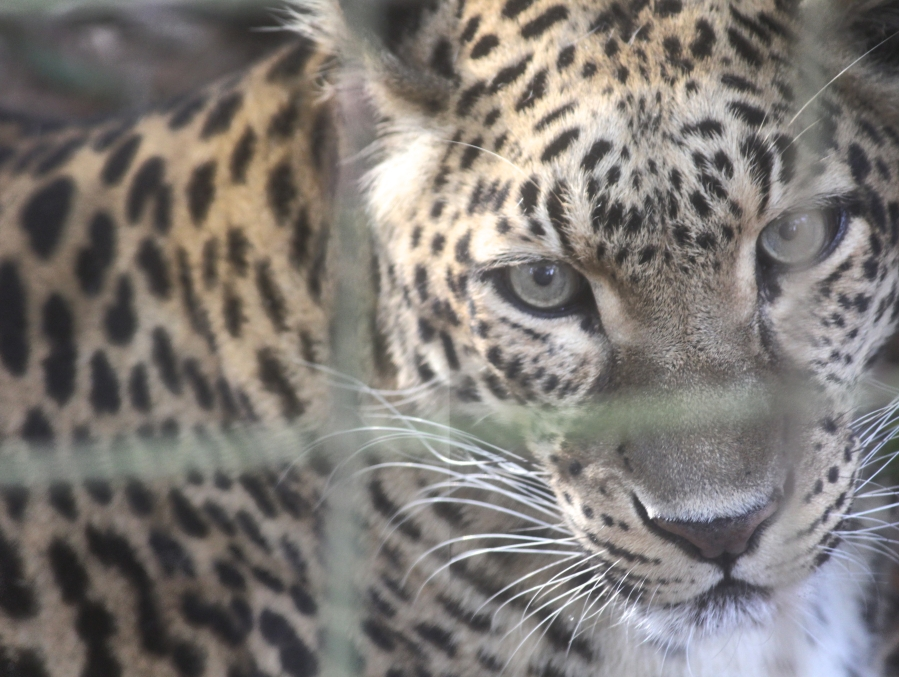 tampa big cat rescue leopard 2