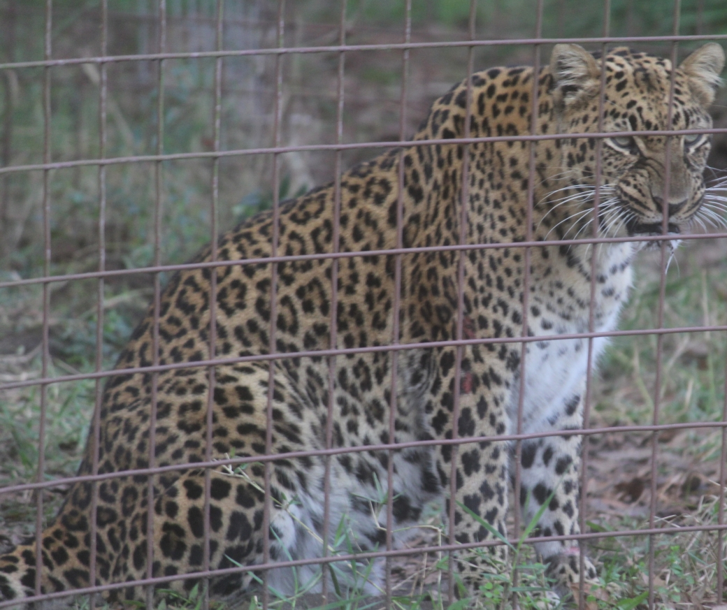 tampa big cat rescue leopard standing