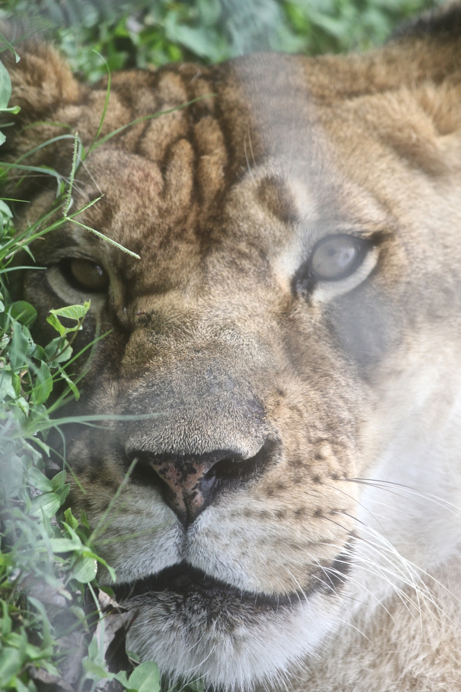 tampa big cat rescue lioness
