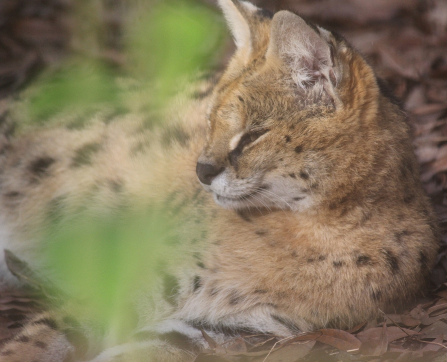 tampa big cat rescue lynx 4