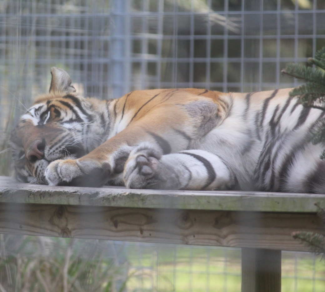tampa big cat rescue tiger sleeping
