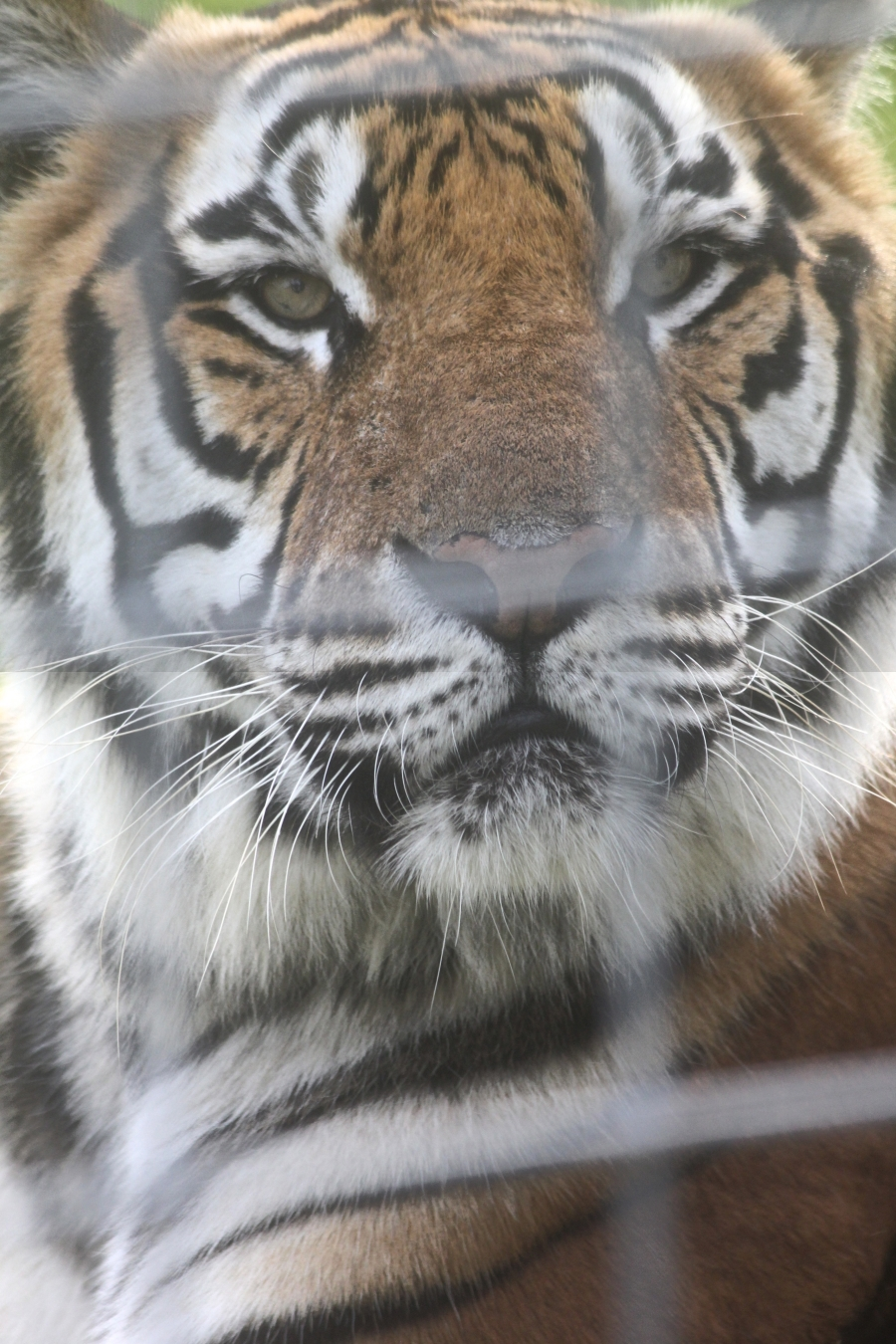 tampa big cat rescue tiger