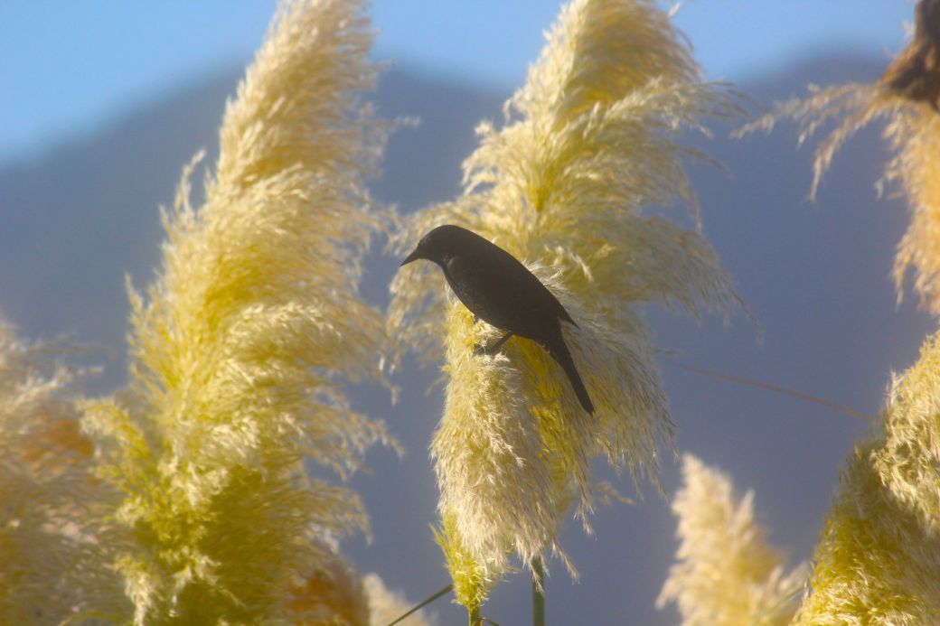 chile santiago park black bird 3