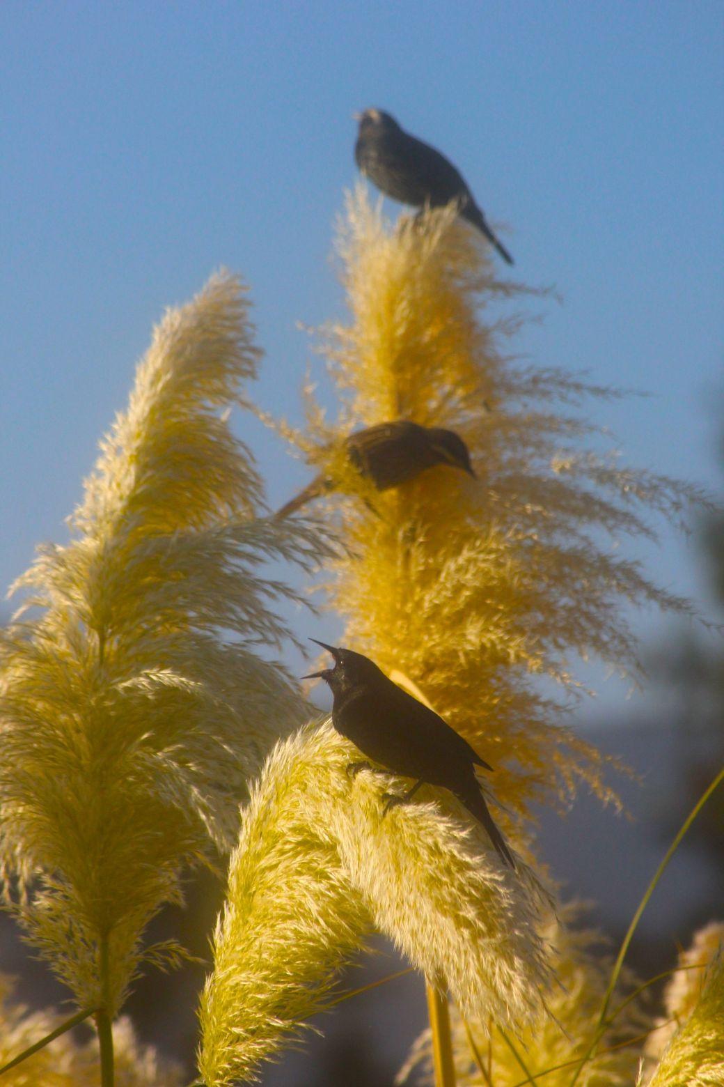 chile santiago park black birds 2