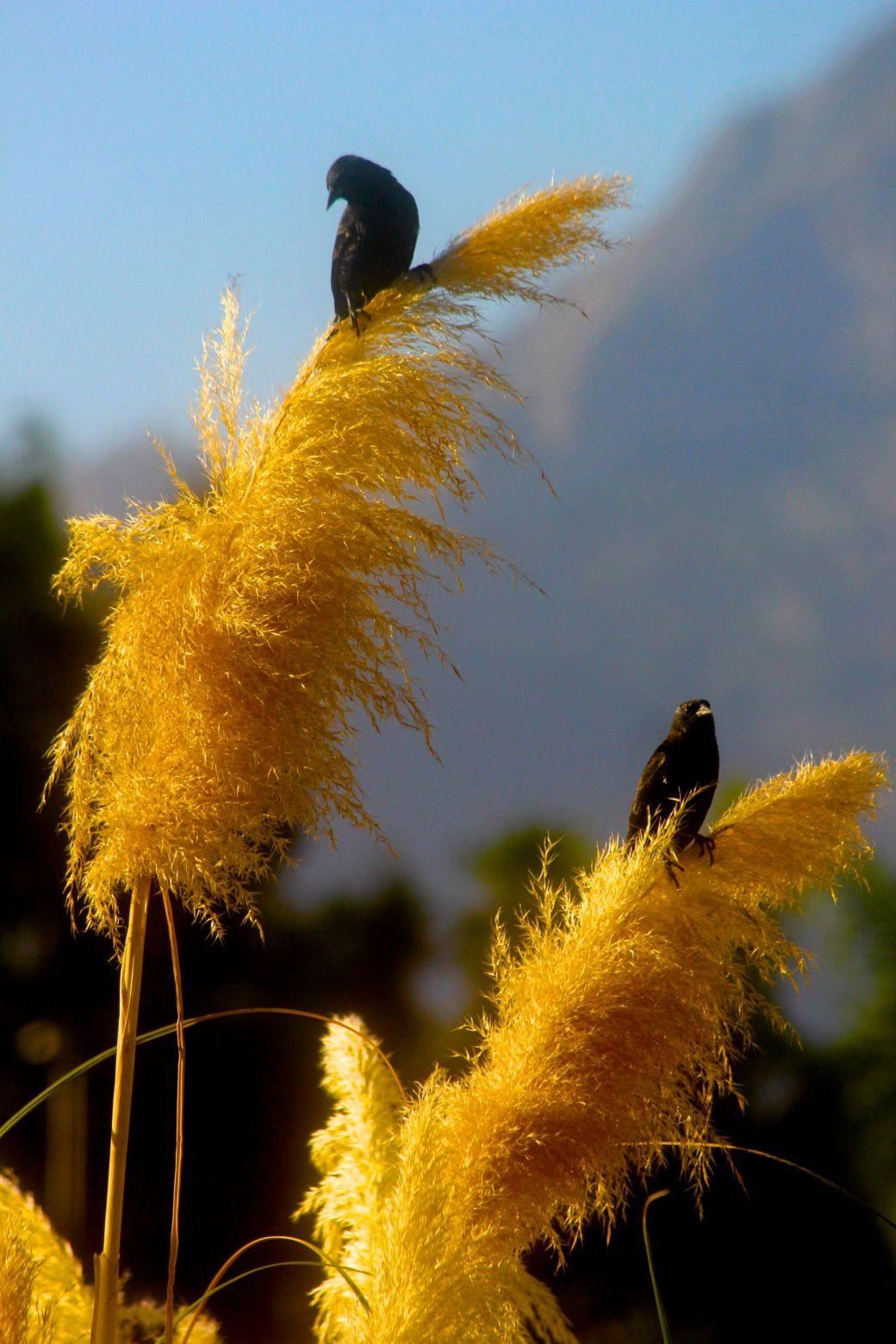 chile santiago park black birds