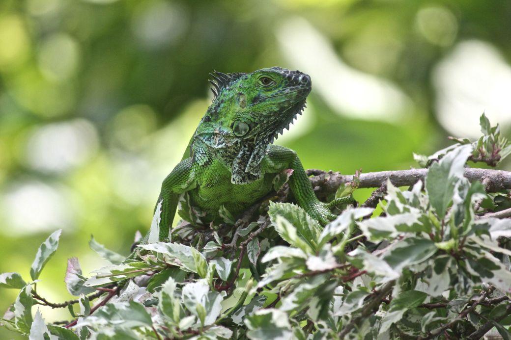 cayman islands queen elizabeth II botanical garden green iguana 2