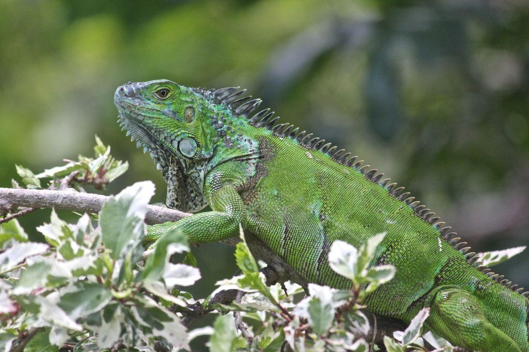 cayman islands queen elizabeth II botanical garden green iguana
