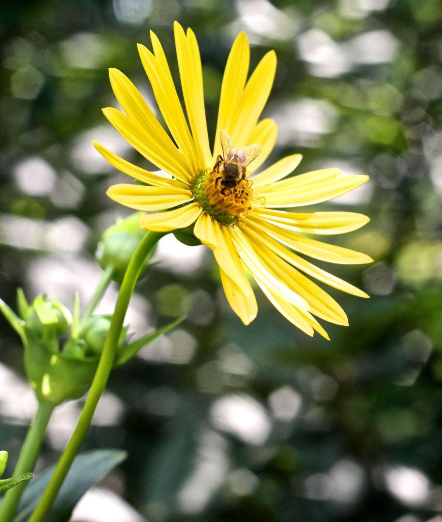 boston arnold arboretum yellow flower with bee