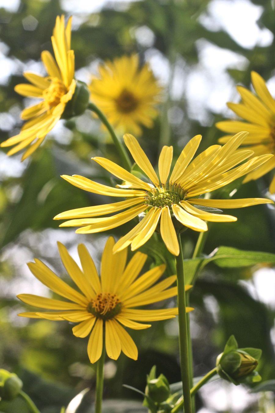 boston arnold arboretum yellow flower