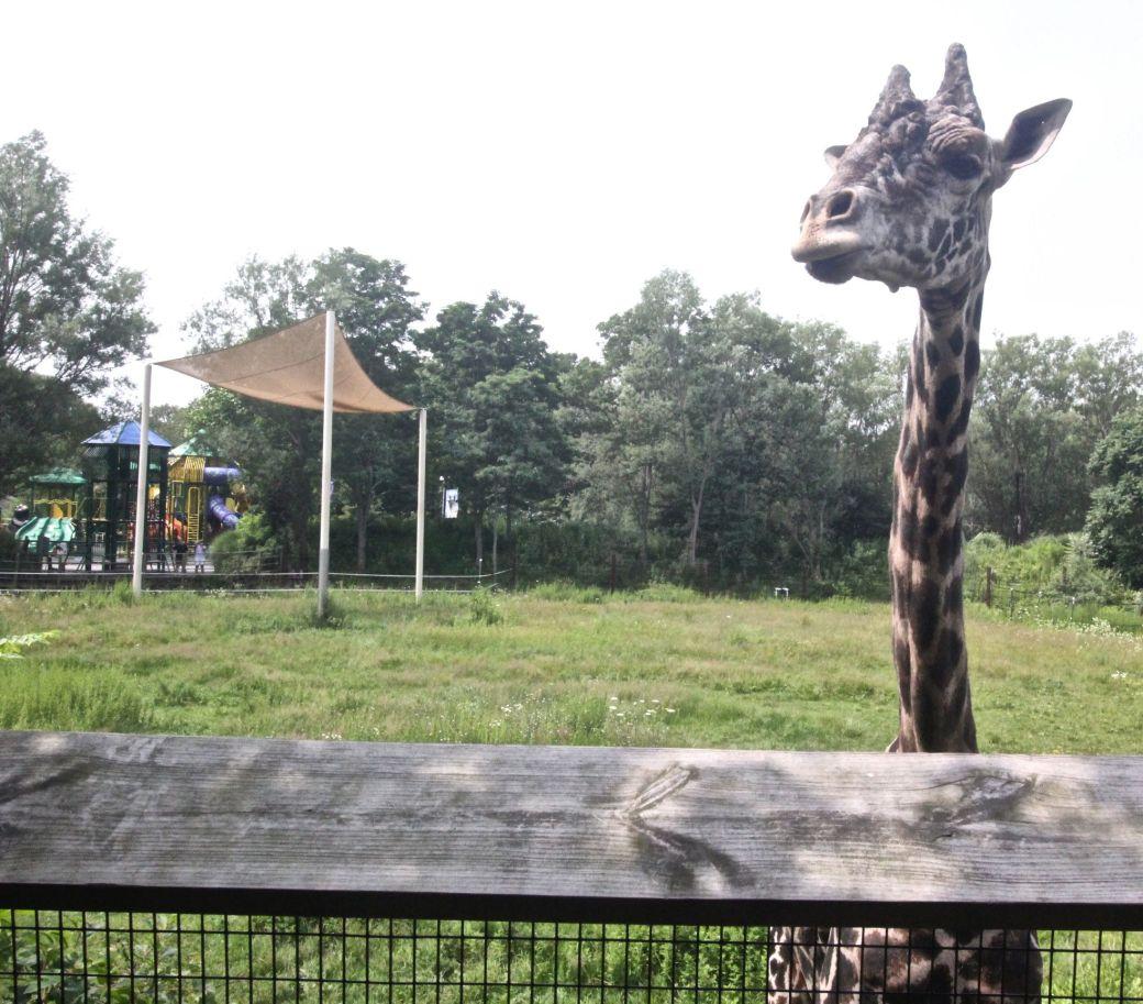 boston franklin park zoo giraffe experience 2