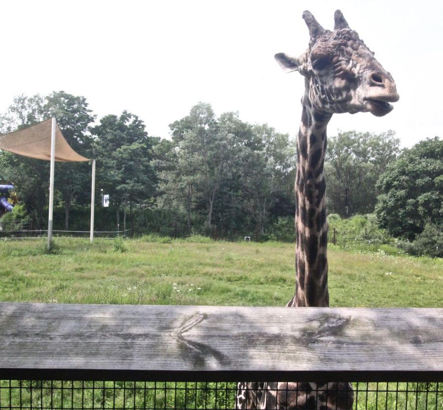 boston franklin park zoo giraffe experience 3