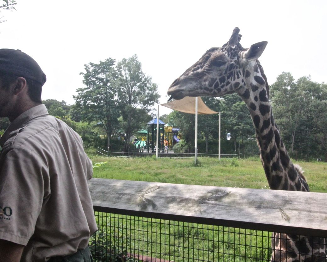 boston franklin park zoo giraffe experience