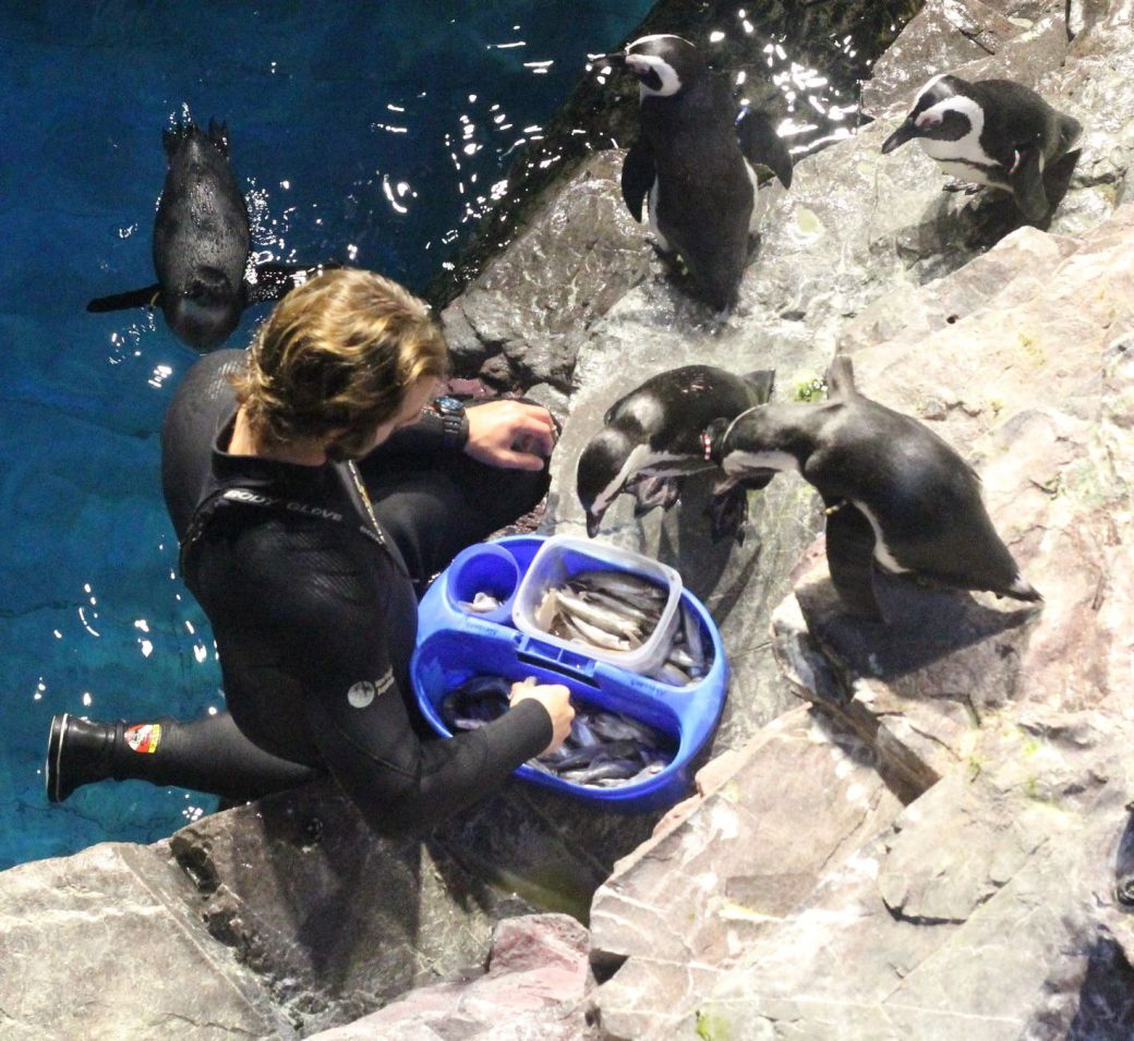 boston new england aquarium july 6 2015 penguin feeding
