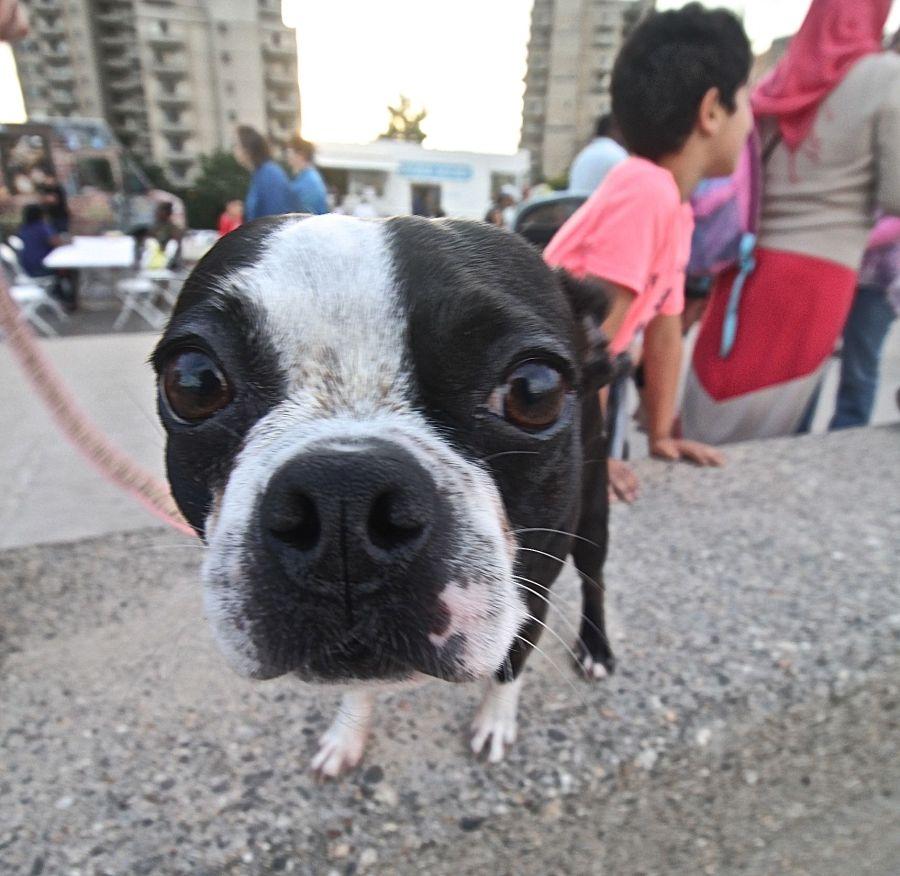 boston revere beach sand sculpture festival boston terrier