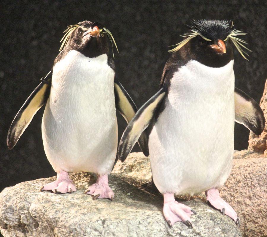 boston new england aquarium rock hooper penguins 1