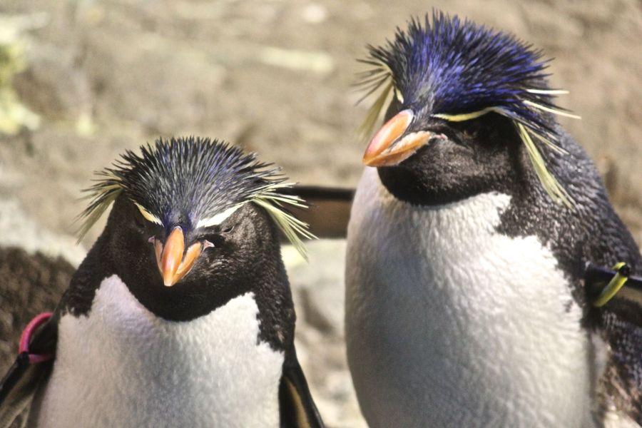 boston new england aquarium rock hooper penguins 3