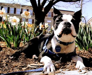 boston brookline portrait boston terrier 3