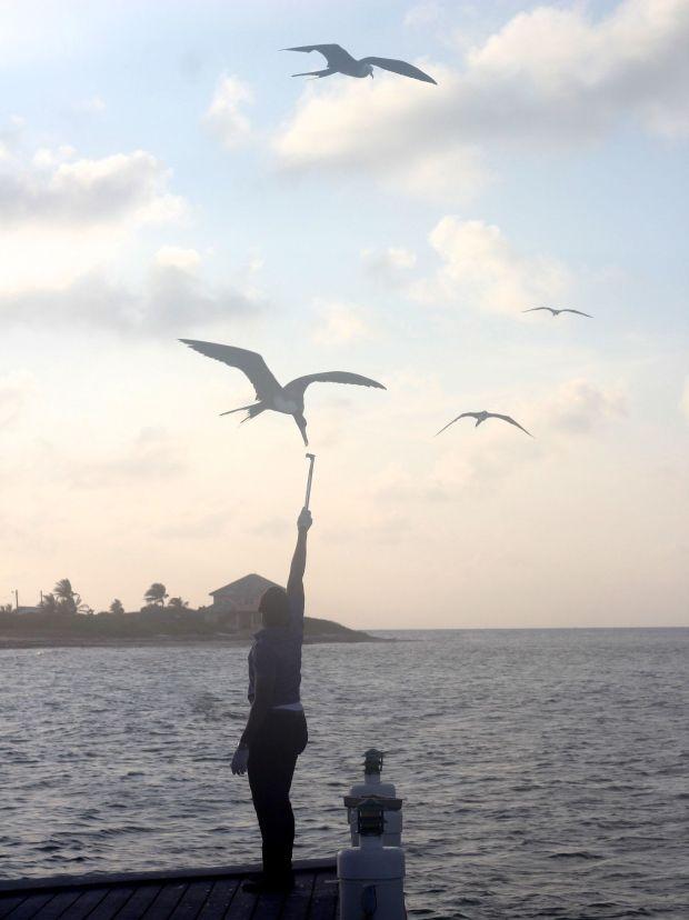 cayman islands reef resort frigate feeding 1