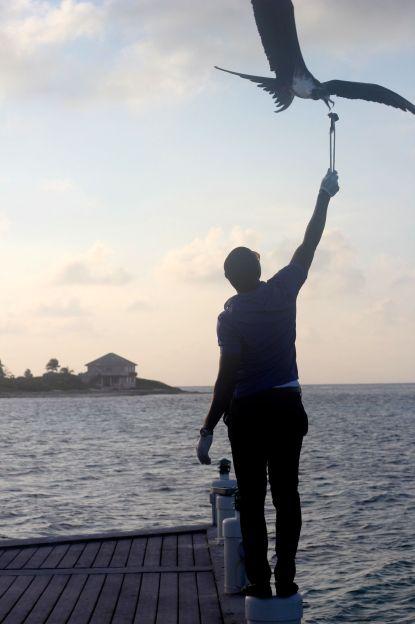 cayman islands reef resort frigate feeding 10