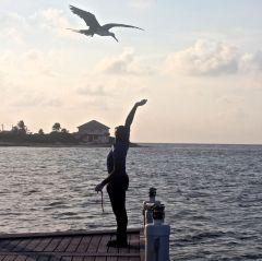 cayman islands reef resort frigate feeding 6