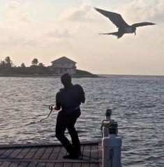 cayman islands reef resort frigate feeding 8