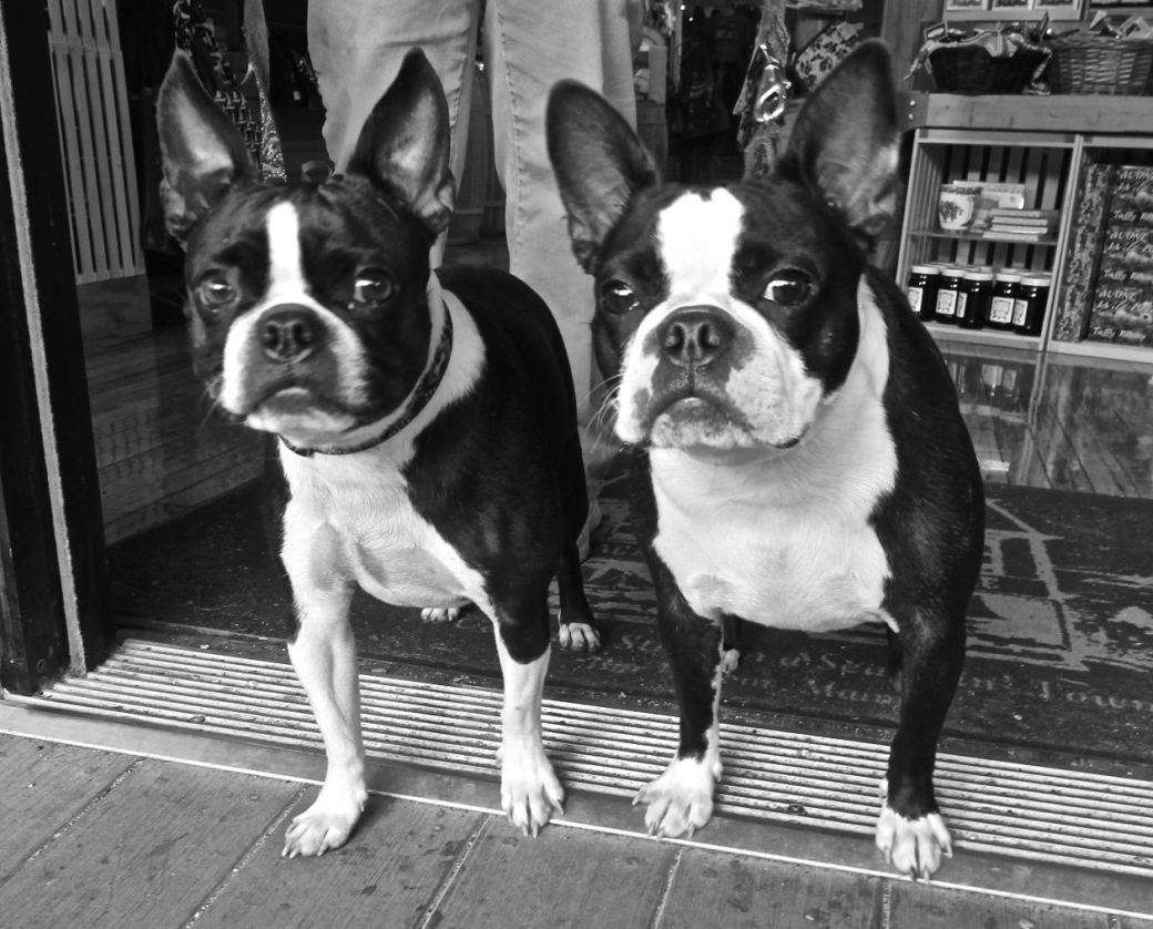 maine mount desert island bar harbor boston terriers