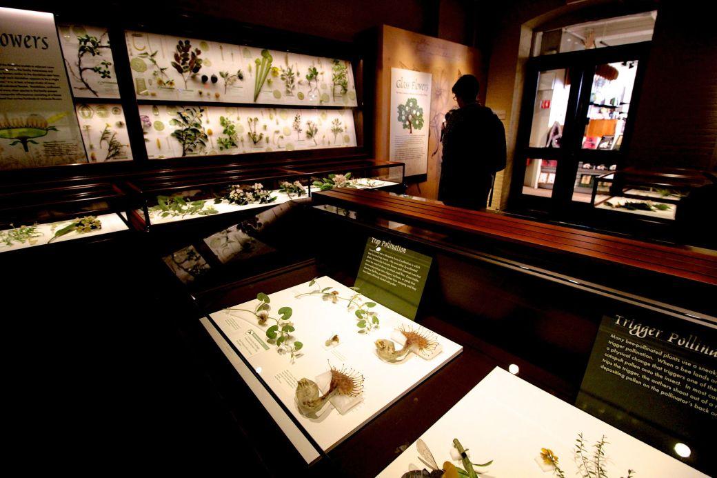 cambridge harvard art museum glass flowers exhibit renovation reopened 2