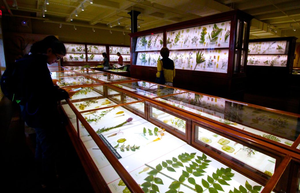 cambridge harvard art museum glass flowers exhibit renovation reopened 6