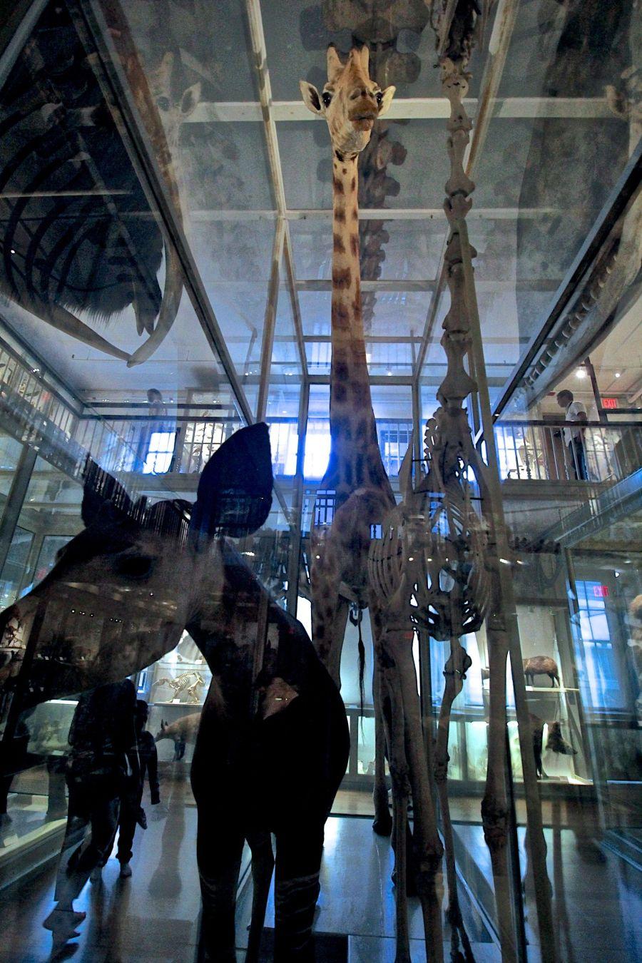 cambridge harvard natural history museum giraffe