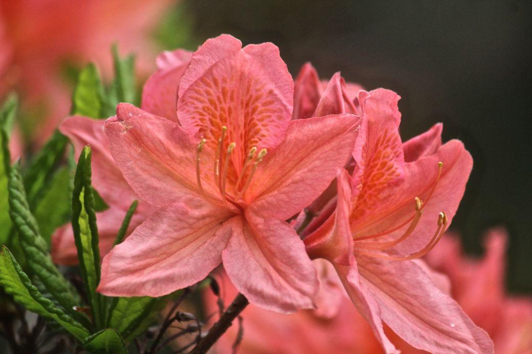 maine mount desert island azalea garden flower 2