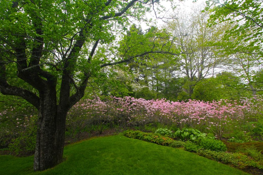 maine mount desert island azalea garden tree flowers