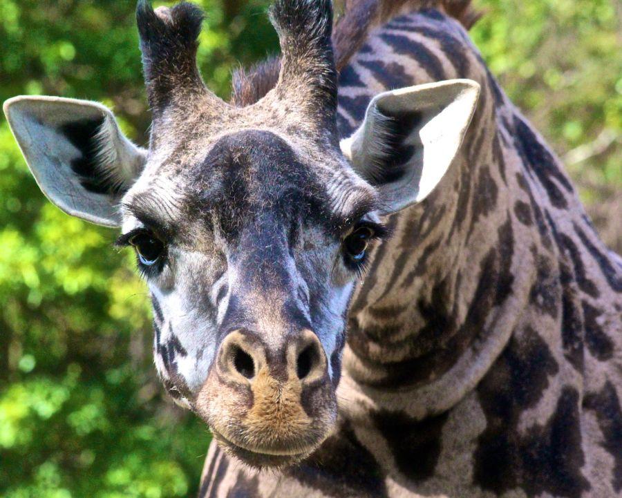 boston franklin park zoo giraffe july 13
