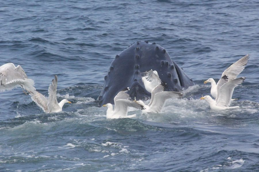 boston whale watch august 6 2016 15